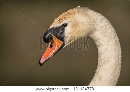 Swan, Cygnus olor, portrait shot close up