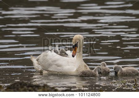 Swan and Cygnets in the sea with two on the adults back