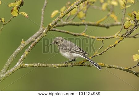 Pied Wagtail juvenile perched on a branch