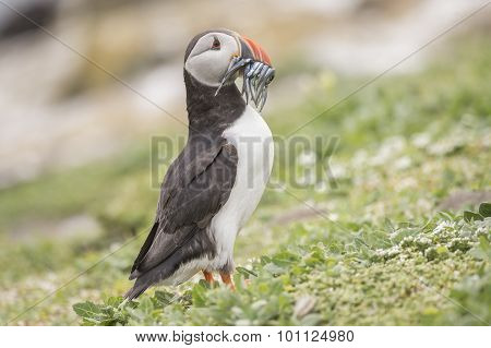 Puffin Fratercula arctica standing with a beak full of Sand eels