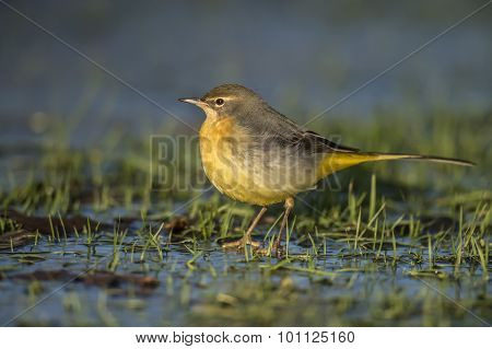 Grey Wagtail Motacilla cinerea standing on icy grass looking for food