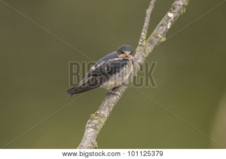 Swallow Hirundo rustica perched on a branch