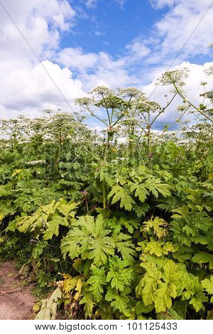 Cow Parsnip Or The Toxic Hogweed  Blossoms On Blue Sky Background