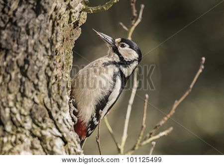 Great spotted woodpecker Dendrocopos major perched on the side of a tree close-up