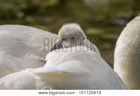 Cygnet sitting on adult Swans back, close up