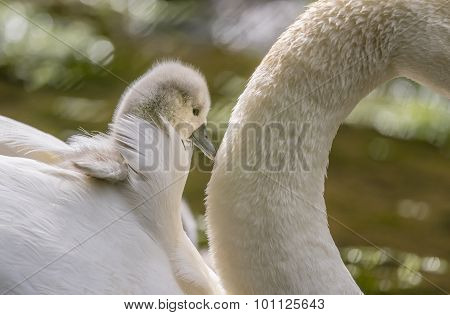 Cygnet sitting on adult Swans back on the river