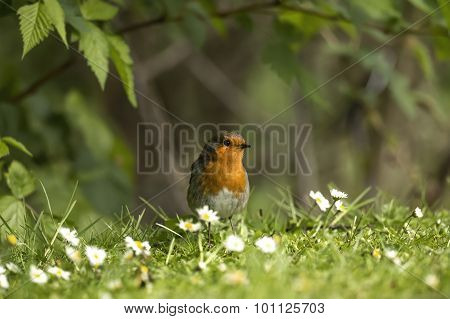 Robin, Erithacus rubecula perched on the grass