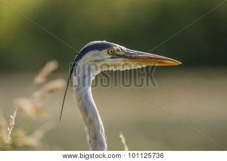 Grey Heron, Ardea Cinerea head shot, close up