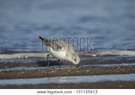 Sanderling Calidris alba feeding on the shoreline
