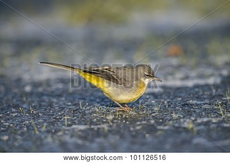 Grey wagtail on ice with a bug in its beak