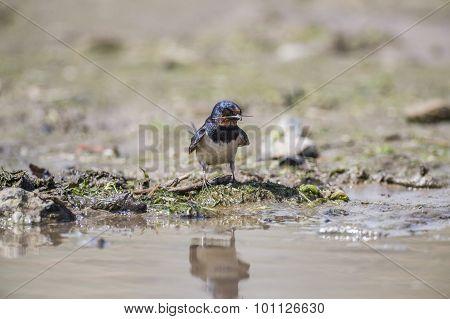 Grey squirrel Sciurus carolinensis sitting on the grass eating a nut