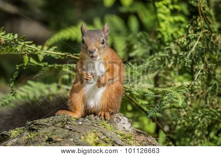 Red squirrel Sciurus vulgaris juvenile sitting on a tree trunk eating a nut