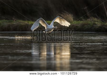 Mute Swan Cygnus olor flying across a pond