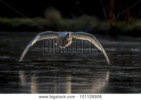 Mute swan Cygnus olor flying across a pond
