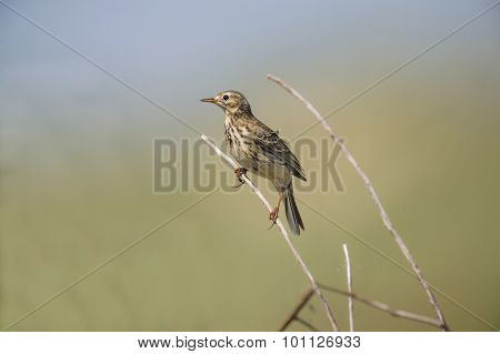 Meadow pipit on a branch in the Summertime
