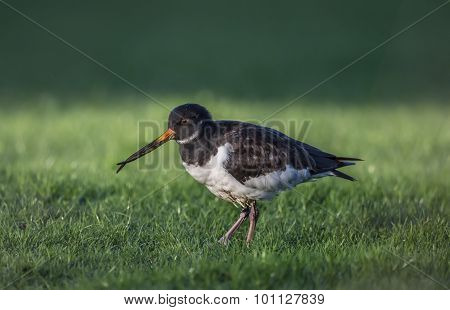 Oystercatcher Haematopus ostralegus with a deformed beak close up on the grass
