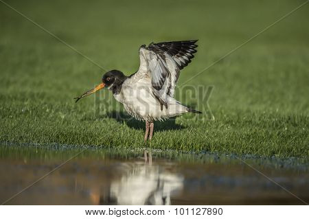 Oystercatcher Haematopus ostralegus with open wings and a deformed beak