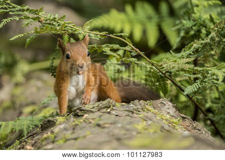 Red squirrel Sciurus vulgaris sitting on a tree trunk eating a nu