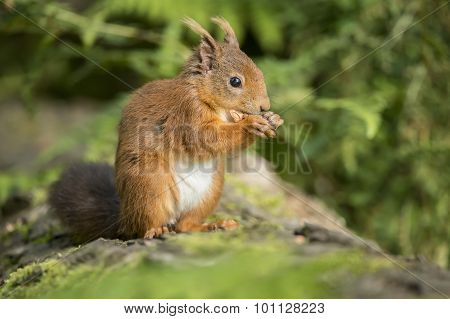 Red squirrel Sciurus vulgaris sitting on a tree trunk eating a nut