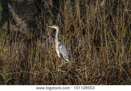 Heron ardea cinerea sitting in a tree