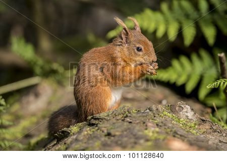 Red squirrel Sciurus vulgaris on a tree trunk eating a nut