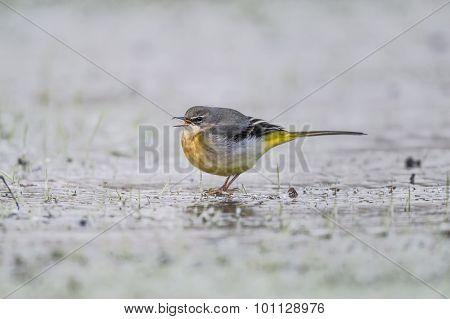 Grey Wagtail Motacilla cinerea standing on ice tweeting
