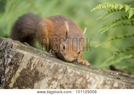 Red squirrel Sciurus vulgaris on a tree trunk smelling