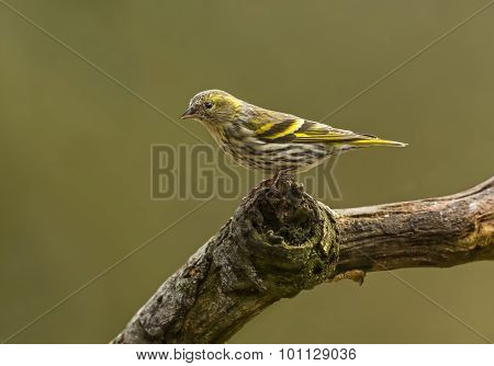 Siskin Carduelis spinus female perched on a branch