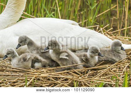 vMute swan Cygnus olor on nest with Cygnets
