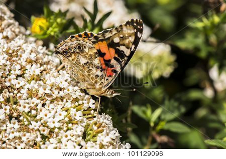 Painted lady Vanessa cardui butterfly on buddleia