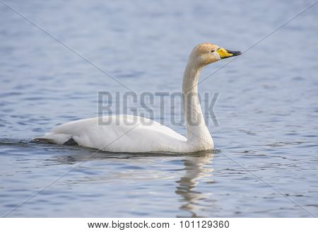 Whooper Swan Cygnus cygnus swimming on a loch