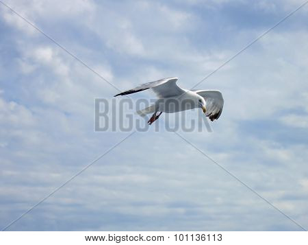 Seagul in the sky with clouds