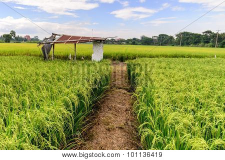 Rice Field With Rusty Roof Cottage, Suphan Buri, Thailand.