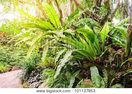 Asplenium nidus bird nest fern with sunlight.