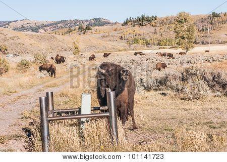 Buffalo Scratching An Itch