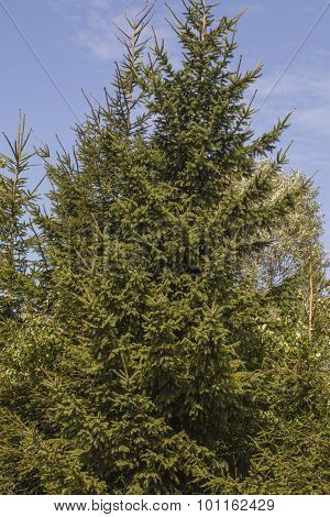 Coniferous Tree Crown