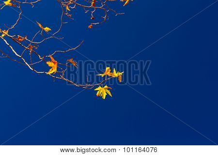 Maple twigs with dry yellow leaves on clear blue sky background, autumn season, good sunny day, change of nature concept