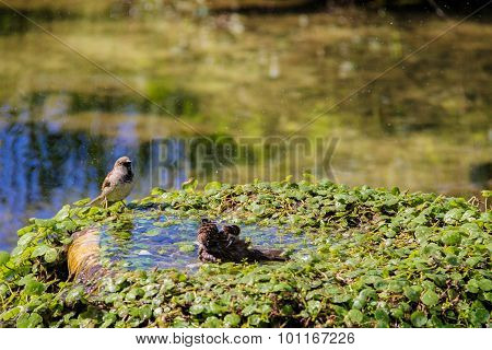 Urban Sparrow Bathing In The Water Pool With Goldfish