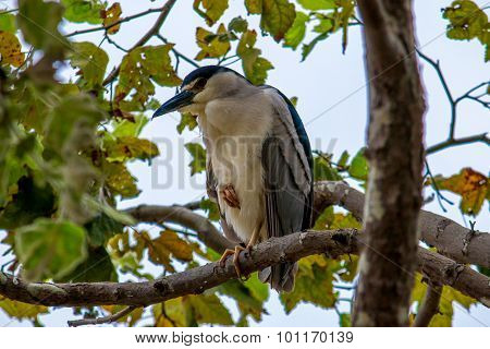 The Black-crowned Night Heron Sleeping On The Tree At Malibu Beach In August