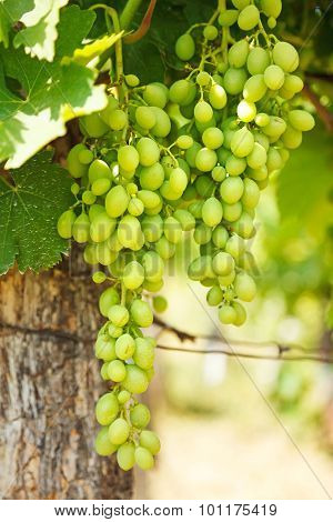 Green Table Grape Clusters In Vineyard