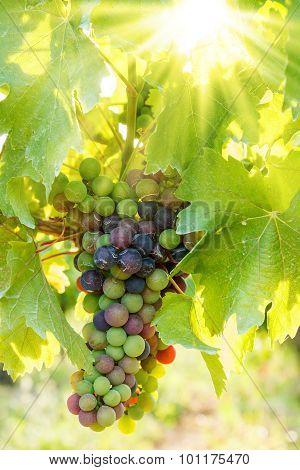 Green Blauer Portugeiser Grape Cluster In Sunlight