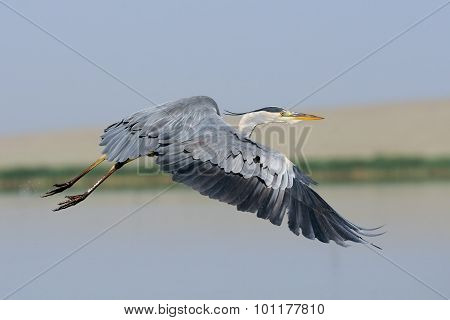 Close Up Of Grey Heron Flying Above The Lake