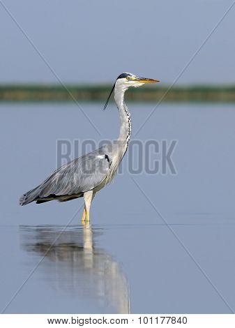 Grey Heron At Shallow Water Of Morning Lake