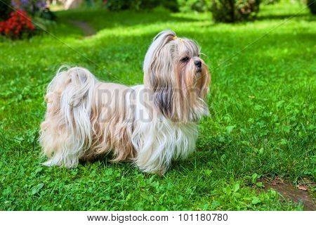 Shih tzu dog on green grass.