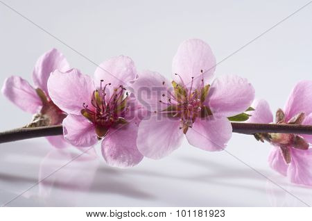 Peach flowers on branch
