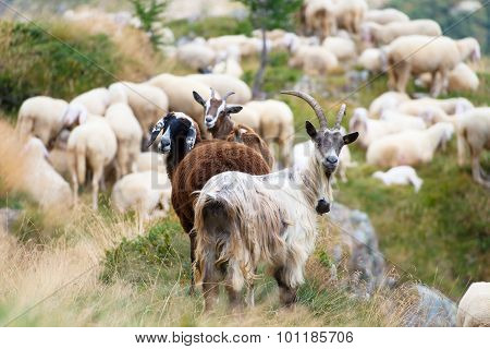 Goats And Sheep Together