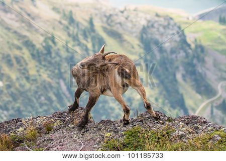 Ibex Scratching His Back With Horns