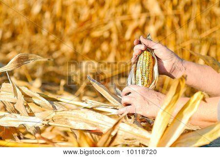 Harvesting A Corn