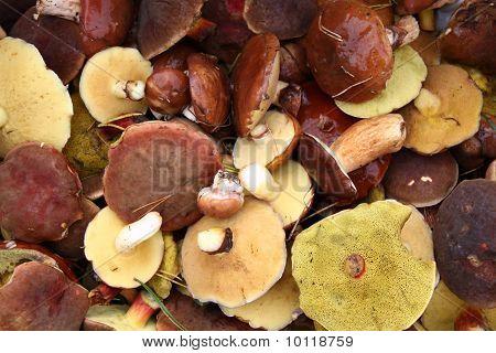 Autumn Edible Mushrooms