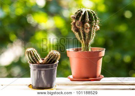 Cacti On Windowsill, Horizontal